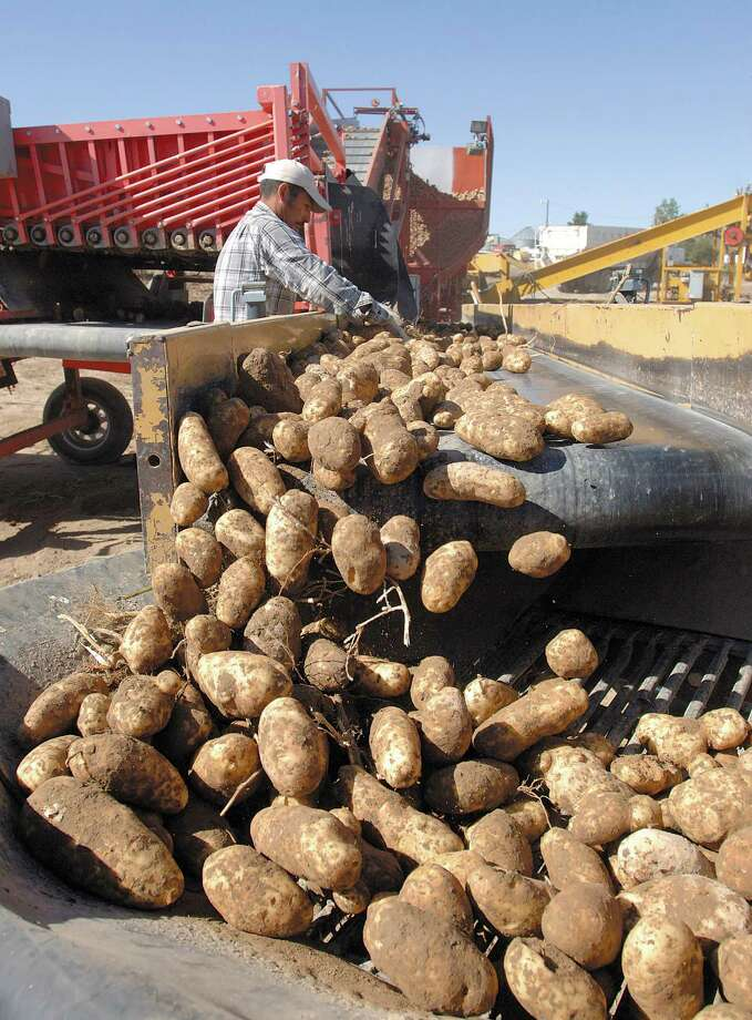 FILE - Potatoes are harvested at farm west of Idaho Falls , Idaho, in this September 2010 file photo.  A U.S. wholesale grocer says America's potato farmers are running an illegal price-fixing scheme, driving up spud prices while spying on farmers with satellites to enforce strict limits on how many tubers they can grow. Photo: Post Register, Robert Bower