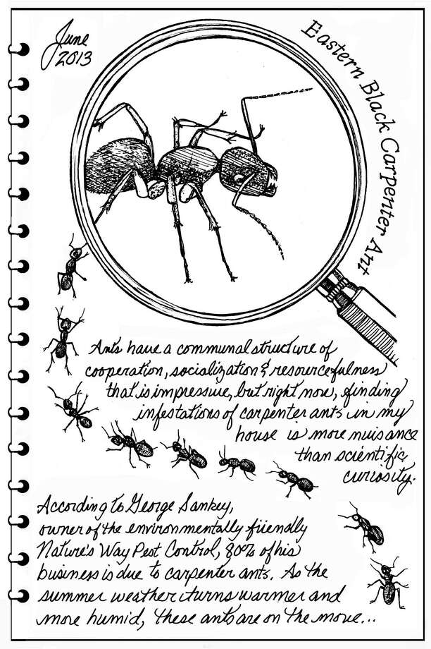 Carpenter ants. (Carol Coogan)