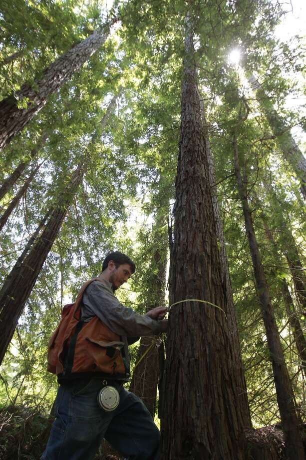 Brian Pickett, a forester for The Conservation Fund collects data in a redwood stand to be used in forest management, on the Preservation Ranch property on  Annapolis, Calif.