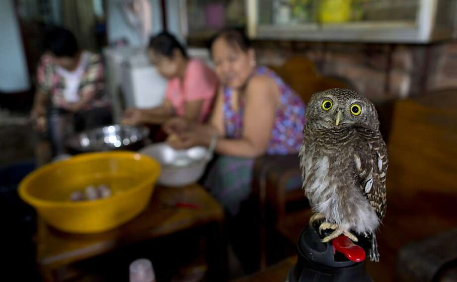 Hooters, Myanmar-style: There are no busty waitresses at this restaurant in Yangon - just a baby owl who likes to stand on a hot water bottle as cooks prepare food. Photo: Gemunu Amarasinghe, Associated Press