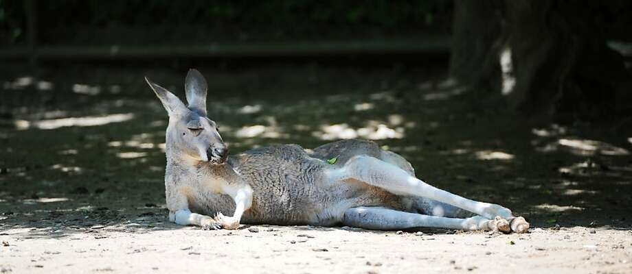 When it's too hot to hop,the wise kangaroo lounges in the shade. (Hellabrunn Zoo in Munich.) Photo: Elena Zelle, AFP/Getty Images