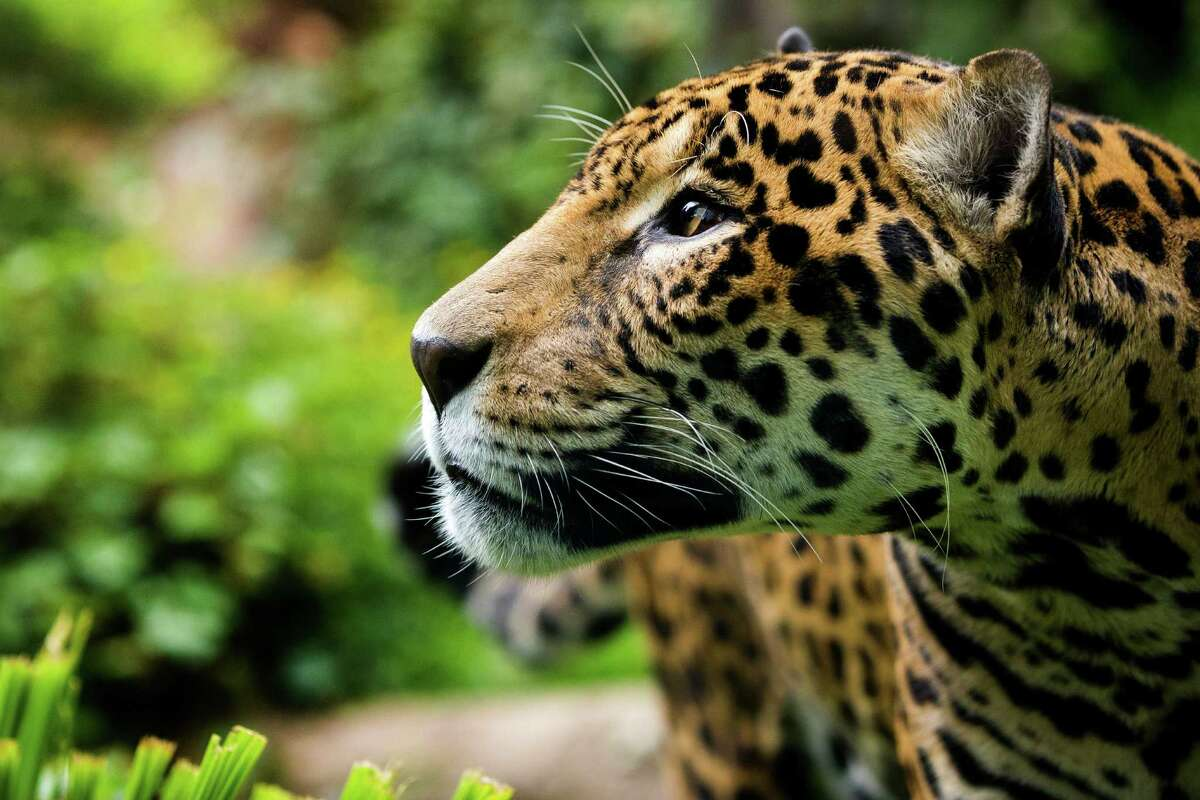 Junior, a 14-year-old jaguar, moves through the foliage of his home during a naming ceremony for his son - one male of three young jaguar cubs - at the Woodland Park Zoo in Seattle. Dangling fixtures filled with chicken and scrawled with a potential name waited to be nudged by Junior, prompting his cub's name