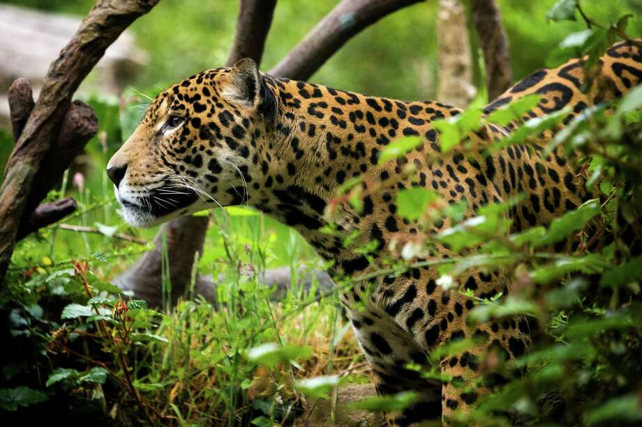 """Junior, a 14-year-old jaguar, moves through the foliage of his home during a naming ceremony for his son - one male of three young jaguar cubs - at the Woodland Park Zoo in Seattle. Dangling fixtures filled with chicken and scrawled with a potential name waited to be nudged by Junior, prompting his cub's name """"choice."""" Junior perused the names and eventually went to sleep without a solid decision. Photo: JORDAN STEAD, SEATTLEPI.COM / SEATTLEPI.COM"""