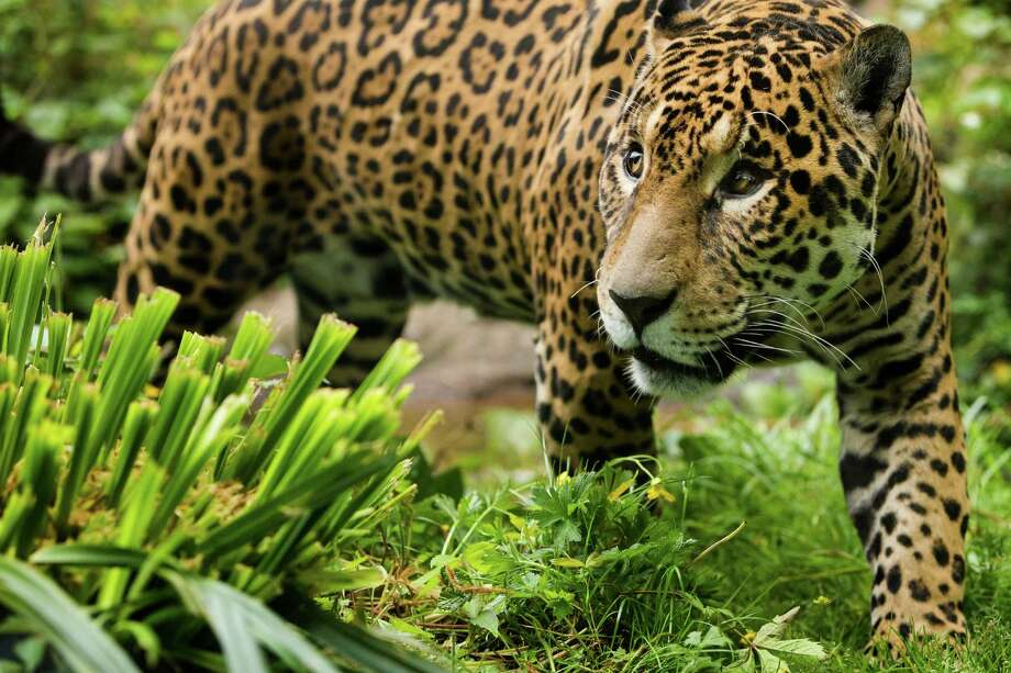 "Junior, a 14-year-old jaguar, moves through the foliage of his home during a naming ceremony for his son - one male of three young jaguar cubs - at the Woodland Park Zoo in Seattle. Dangling fixtures filled with chicken and scrawled with a potential name waited to be nudged by Junior, prompting his cub's name ""choice."" Junior perused the names and eventually went to sleep without a solid decision. Photo: JORDAN STEAD, SEATTLEPI.COM / SEATTLEPI.COM"