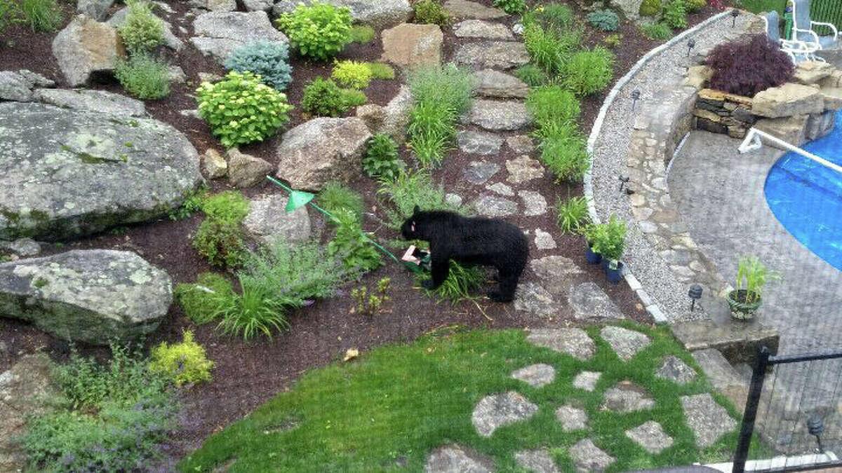 Emmett Lee spotted this black bear in his Monroe backyard on Thursday June 13 and Friday June 14, 2013.