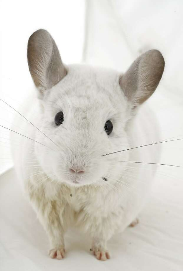 Chinchillas, or chins, are crepuscular rodents from South America originally brought to the United States for their fur-farming potential. Luckily for them, the fad faded. With their ability to live in vertical cages, they are well suited for someone who lives in an apartment. Photo: Russell Yip, The Chronicle