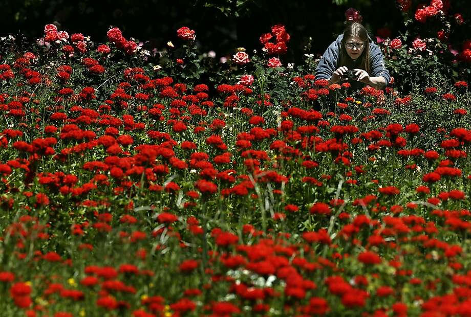 Chris Aanrud of Eugene snaps photos during a walk through the Owen Rose Garden Friday, June 14, 2013 in Eugene, Ore. After recent rains, Aanrud said the return of the sun was her primary motivation to get out and enjoy the day. (AP Photo/The Register-Guard, Brian Davies) Photo: Brian Davies, Associated Press