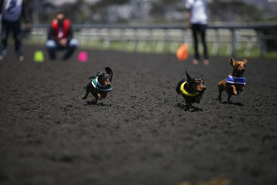 Wiener dogs race in the Wiener Nationals at Golden Gate Fields on Saturday, June 15, 2013 in Berkeley, CA. Dachshunds competed for cash prizes during their 10 races throughout the day at the event. Photo: Katie Meek, The Chronicle