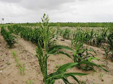 Grain sorghum like this one, photographed on May 14, 2013 in Lyford, Texas, is threated by a tiny invasive bug. Look at other invasive species and the impacts they have had on the the state. Photo: Christopher Sherman, STF / AP