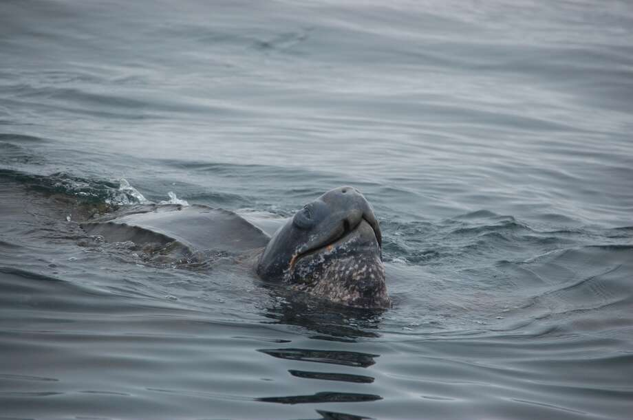 Wildlife watchers aboard Salty Lady near Southeast Farallon Island sighted rare giant leatherback turtle