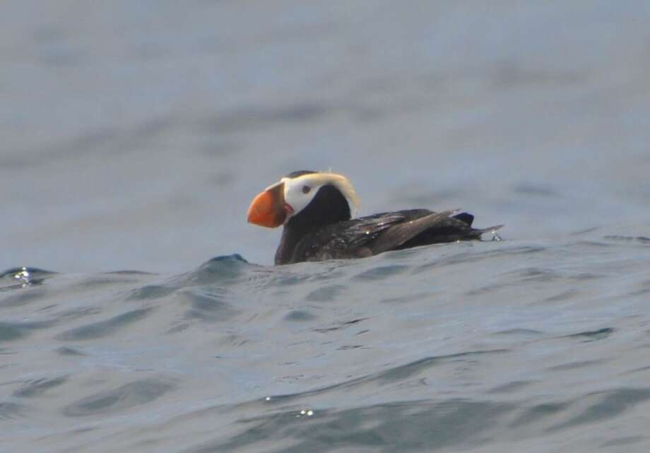 Tufted puffin bobs on surface near Farallon Islands, sighted aboard Salty Lady on Ocean Society whale watching/wildlife trip last week