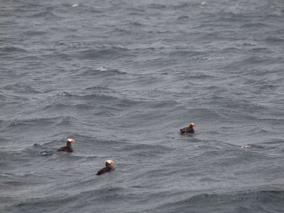Tufted puffins float on swells near Farallon Islands