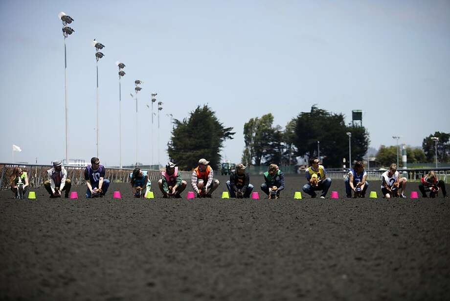 Twelve wiener dogs prepare to race in the Wiener Nationals at Golden Gate Fields on Saturday, June 15, 2013 in Berkeley, CA. Dachshunds competed for cash prizes during their 10 races throughout the day. Photo: Katie Meek, The Chronicle