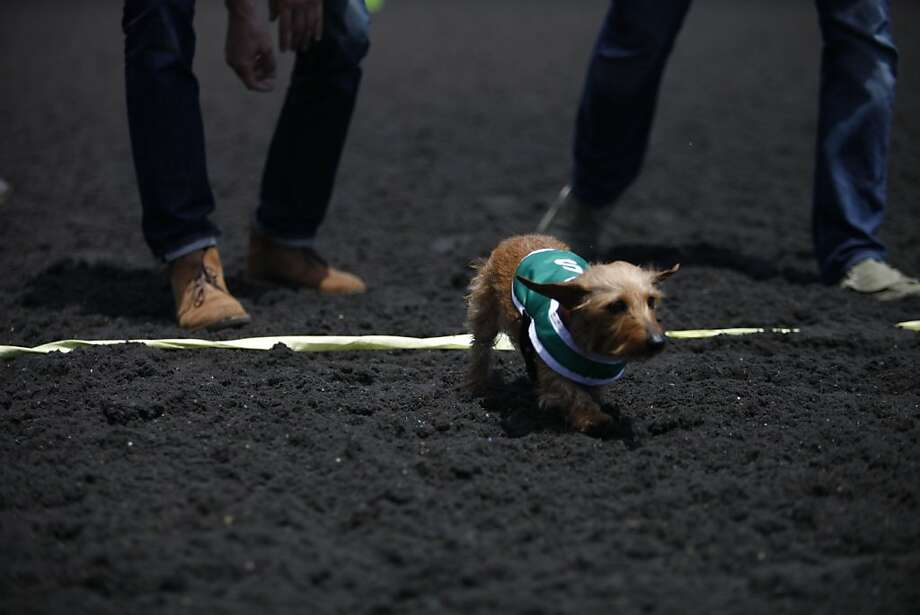 Kevin Poindexter's wiener dog crosses the finish line last in the Wiener Nationals race  at Golden Gate Fields on Saturday, June 15, 2013 in Berkeley, CA. Photo: Katie Meek, The Chronicle