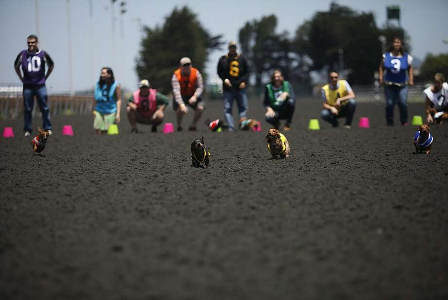 Wiener dogs race in the Wiener Nationals at Golden Gate Fields on Saturday, June 15, 2013 in Berkeley, CA. Dachshunds competed for cash prizes during their 10 races throughout the day. Photo: Katie Meek, The Chronicle