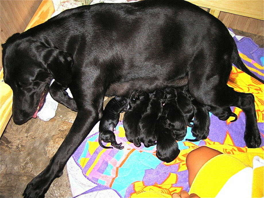 "Perry's dog Belle gave birth in 2009, and the governor took to his Facebook to spread the good news: ""Belle and her 9 babies!!! 6 girls, 3 boys...Belle is exhausted but the pups are healthy."""