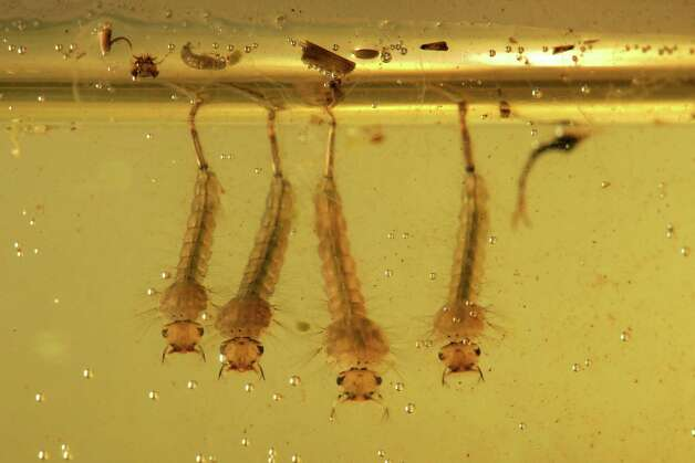 Gallery For Mosquito Eggs In Pool