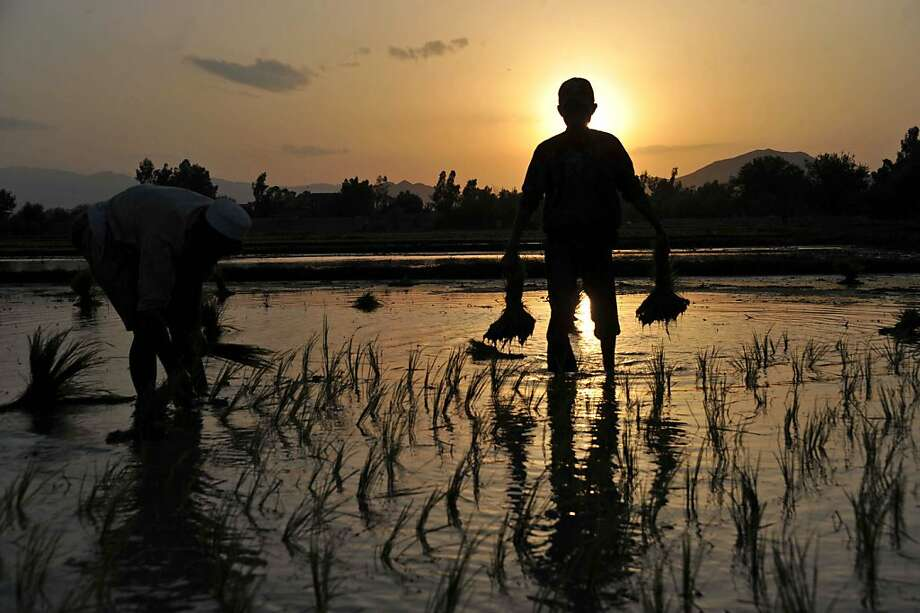 Afghan farmers plant rice as the sun sets behind a paddy field on the outskirts of Jalalabad. Photo: Noorullah Shirzada, AFP/Getty Images