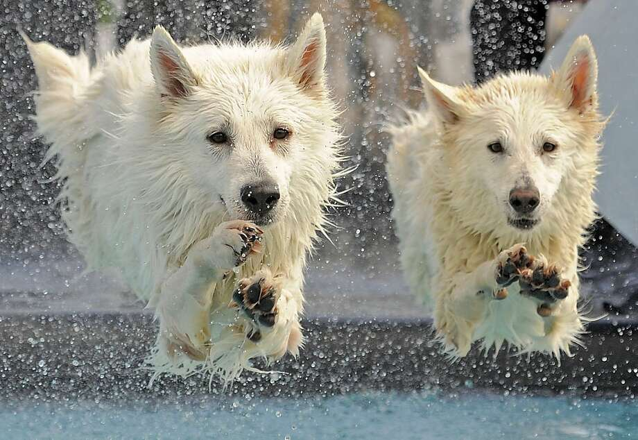 In the synchronized diving event,Kenai and Yasu perform the difficult triple tail-wag-into-belly-flop at the International pedigree dog diving competition in Erfurt, Germany. Kenai and Yasu are White Swiss Shepherds. Photo: Jens Meyer, Associated Press