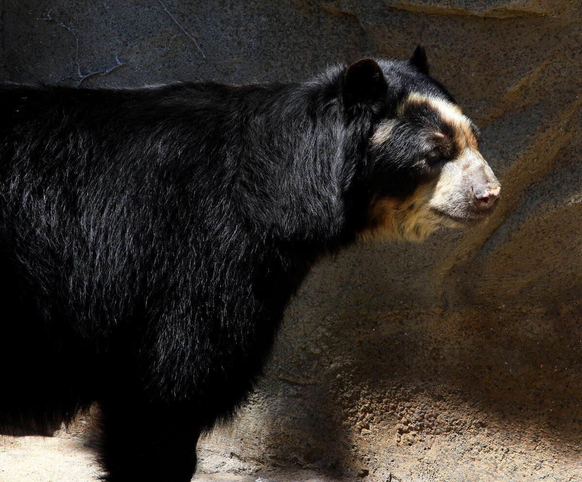 Andean Bear, at Lincoln Park Zoo in Chicago, Illinois on MAY 16, 2011.