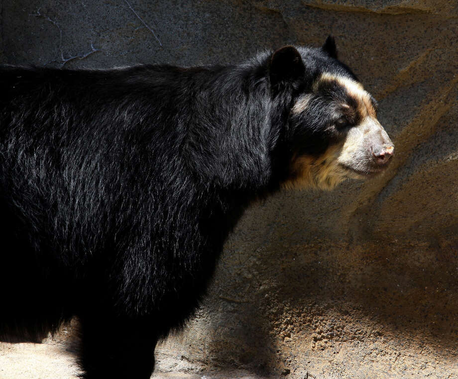 Andean Bear, at Lincoln Park Zoo in Chicago, Illinois on MAY 16, 2011. Photo: Raymond Boyd, Getty Images / (Photo By Raymond Boyd/Michael Ochs Archives/Getty Images)