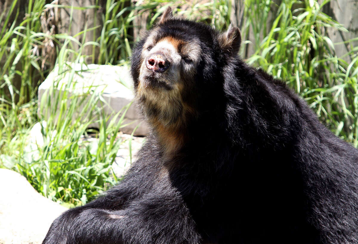 Andean Bear, at Lincoln Park Zoo in Chicago, Illinois on MAY 16, 2011. (