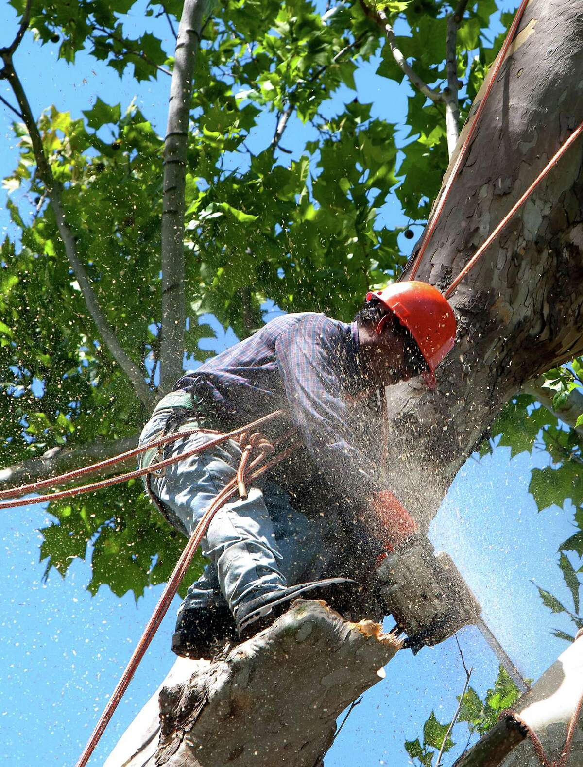 A crew cuts down a historic, century-old Sycamore tree at the corner of Oxford Street and 23rd St., Monday, June 17, 2013, in Houston. Locals showed their support in keeping the tree as they stood in protest. The tree is 106-feet tall, according to the 2011 Harris County Tree Registry.