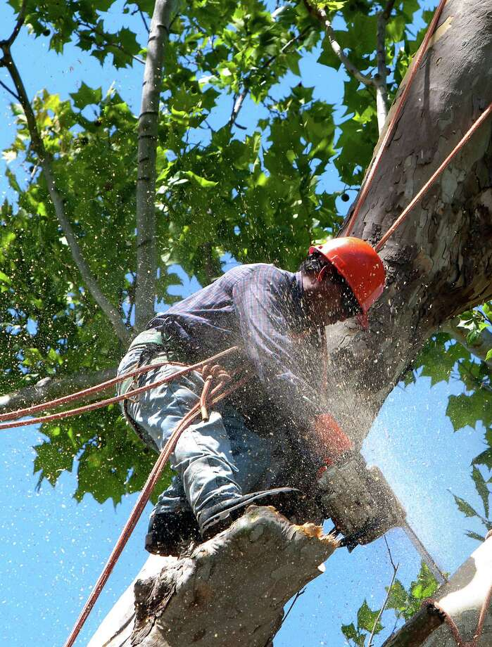A crew cuts down a historic, century-old Sycamore tree at the corner of Oxford Street and 23rd St., Monday, June 17, 2013, in Houston. Locals showed their support in keeping the tree as they stood in protest. The tree is 106-feet tall, according to the 2011 Harris County Tree Registry. Photo: Cody Duty, Houston Chronicle / © 2013 Houston Chronicle