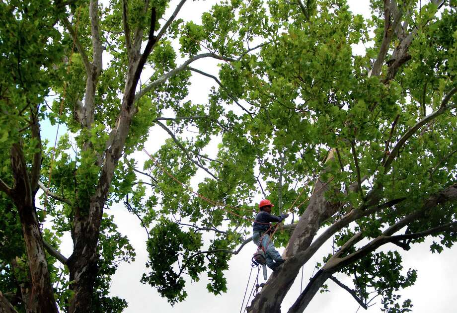 A crew member cuts down a historic, century-old Sycamore tree at the corner of Oxford Street and 23rd St., Monday, June 17, 2013, in Houston. Locals showed their support in keeping the tree as they stood in protest. The tree is 106-feet tall, according to the 2011 Harris County Tree Registry. Photo: Cody Duty, Houston Chronicle / © 2013 Houston Chronicle