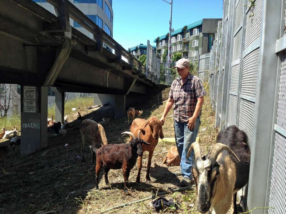 Tammy Dunakin, owner of Rent a Ruminant, and her rescued goats hard at work under the viaduct at Lenora Street on Monday, June 17, 2013.