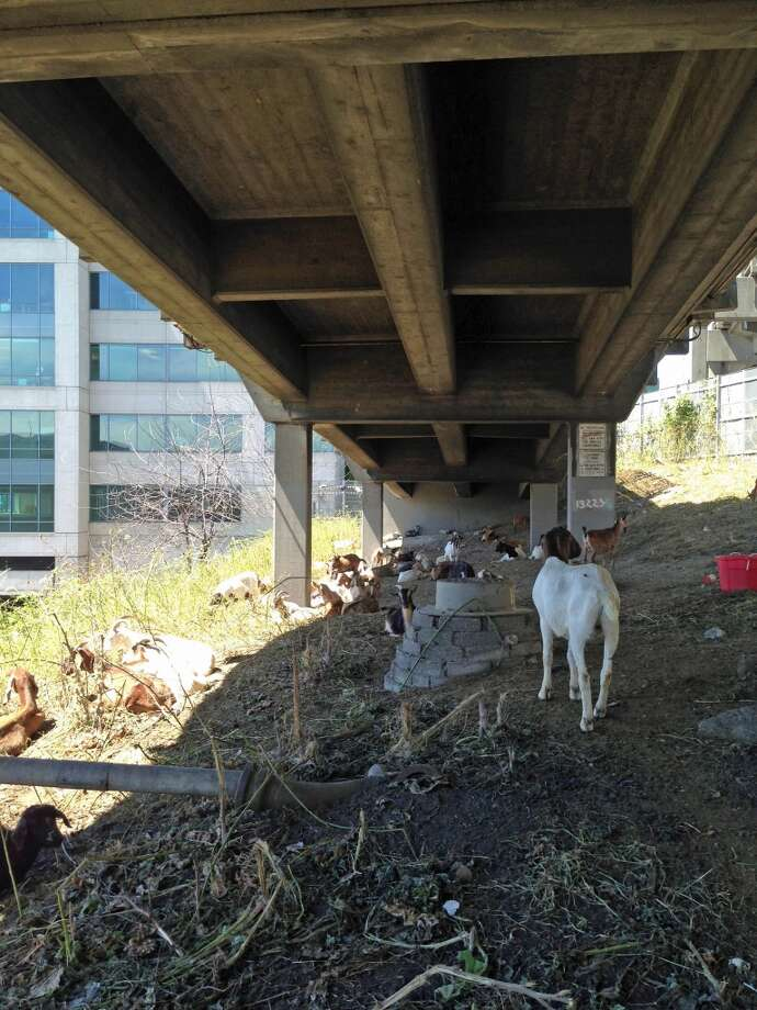 Tammy Dunakin, owner of Rent a Ruminant, put her rescued goats to work under the viaduct at Lenora Street on Monday, June 17, 2013.