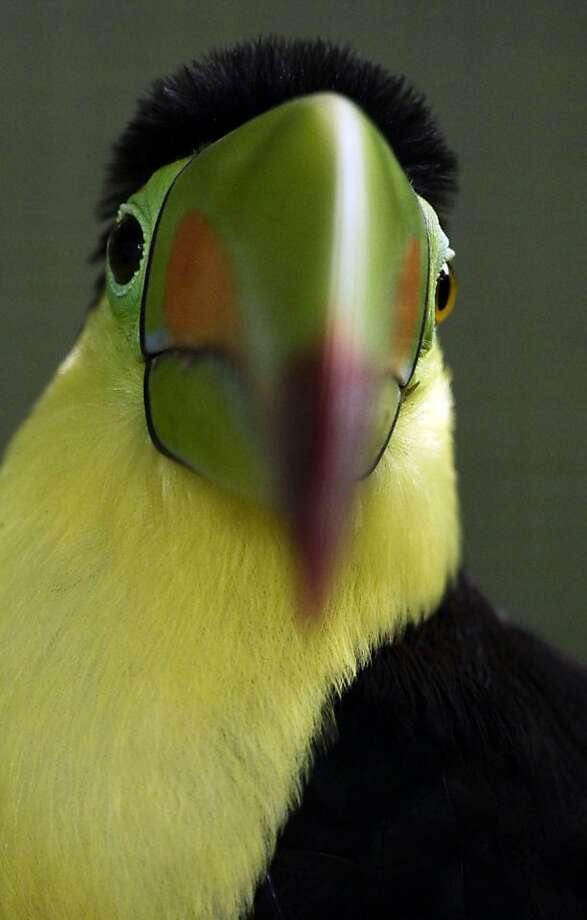 A Keel-billed Toucan (Ramphastos sulfuratus) sits in a cage at the Summit zoo in Panama City, Monday, June 17, 2013. (AP Photo/Arnulfo Franco) Photo: Arnulfo Franco, Associated Press