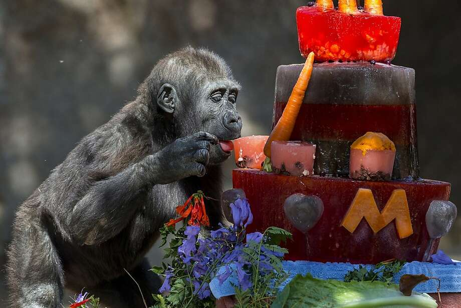 In this photo released by San Diego Zoo Safari Park, Monroe, a Western lowland gorilla celebrates his second birthday with a multicolored ice cake made of fruits and vegetables adorned with yam and banana frosting, ginger leaves, jacaranda and hibiscus flowers, at the San Diego Zoo Safari Park in San Diego, Calif., on Monday, June 17, 2013. Monroe was born at the Safari Park on 2011. Western lowland gorillas are listed as critically endangered. (AP Photo/ Ken Bohn, San Diego Zoo Safari Park) Photo: Ken Bohn, Associated Press