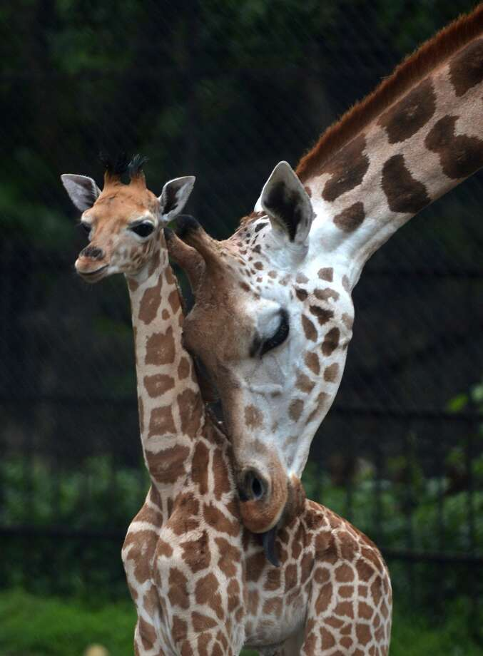 """How do you fit a giraffe in a fridge?"" – Asked at UBS.  Photo: Getty Images"