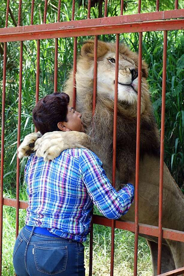 I need a hug: Ana Julia Torres, owner of an eight-acre animal refuge north of Cali, Colombia, takes in animals no one else wants. And 13-year-old Jupiter, a former circus lion, is grateful she does. Photo: Chris Kraul, McClatchy-Tribune News Service