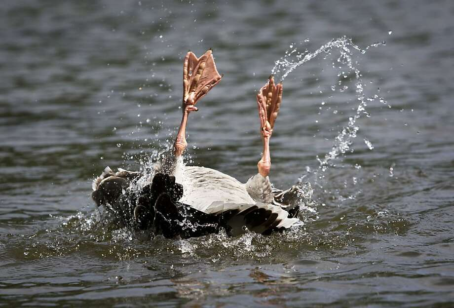 Sometimes a goose just has to duck. (Frankfurt am Main, Germany.) Photo: Frank Rumpenhorst, AFP/Getty Images