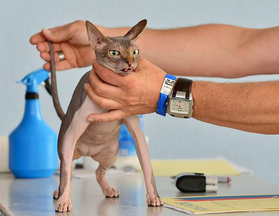 Somebody's going to pay for this: A sphynx endures a judge's examination at the International cat and dog exhibition in Erfurt, Germany. Photo: Martin Schutt, AFP/Getty Images