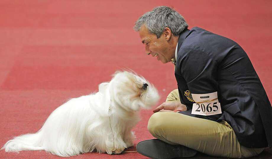 Hoping that judges can find her face, Mark Hanson's Coton de Tulear, Queen Moud, gets ready for her turn in the ring at the International purebred pet exhibition in Erfurt, Germany. Photo: Jens Meyer, Associated Press