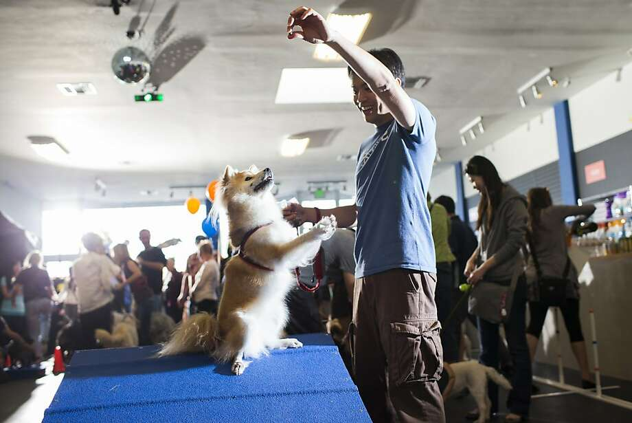 Alex Wu of San Mateo holds a treat as Miya, top, performs a trick at Belmont's canine social and training club Zoom Room. Photo: Stephen Lam, Special To The Chronicle