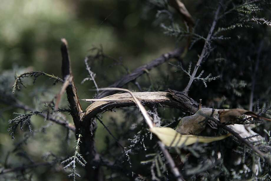 Vandalization of tree saplings in Golden Gate Park is evident in the snapping of small trees in the park. Photo: Katie Meek, The Chronicle