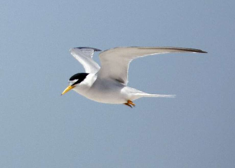 An endangered California Least Tern in flight above Tern Island in Hayward Regional Shoreline in Hayward, Calif. on June 17, 2013.