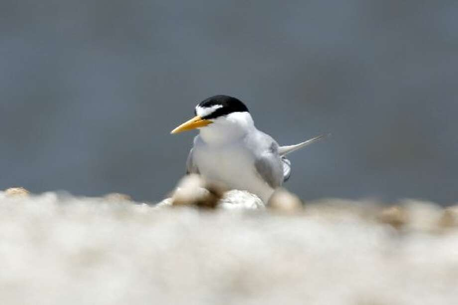 An endangered California Least Tern on Tern Island in Hayward Regional Shoreline in Hayward, Calif. on June 17, 2013.