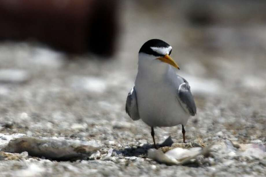 An endangered California Least Tern on Tern Island in Hayward Regional Shoreline in Hayward, Calif. on June 17, 2013.