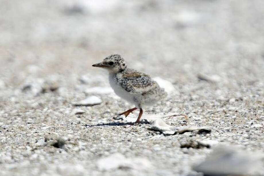 An endangered California Least Tern chick on Tern Island in Hayward Regional Shoreline in Hayward, Calif. on June 17, 2013.