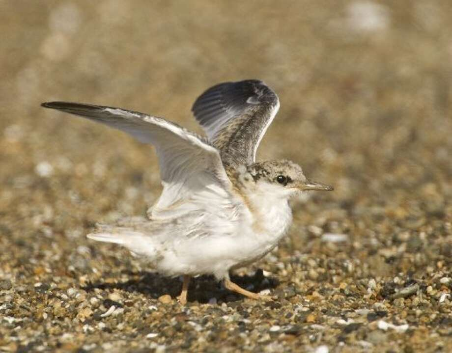Juvenile California Least Tern getting ready to fledge (learn to fly) at Alameda wildlife refuge.
