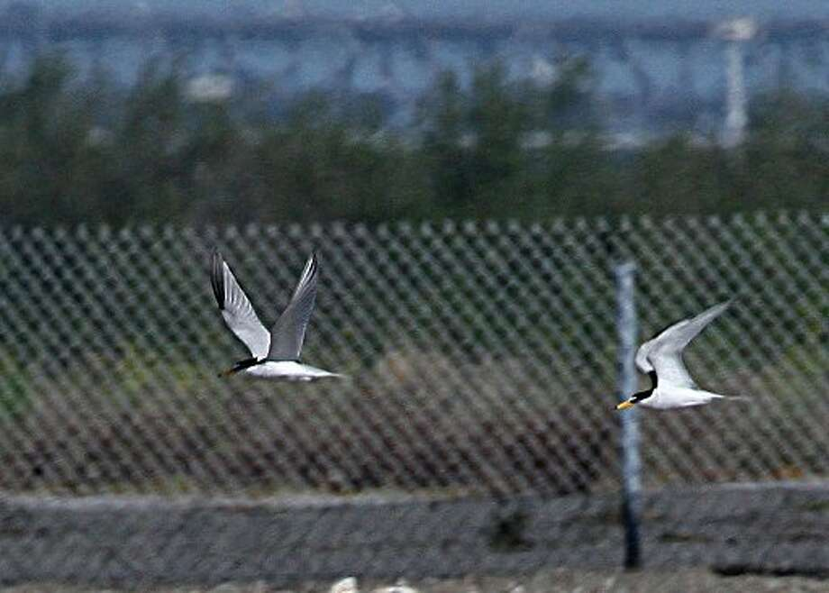 Terns at the Alameda Naval Air Station in Alameda, Calif. on Monday, April 30, 2012.