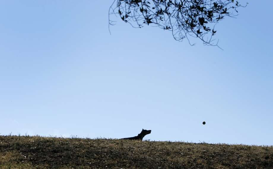 An unleashed dog chases a ball in Holly Park on June 8, 2013 in San Francisco, Calif.