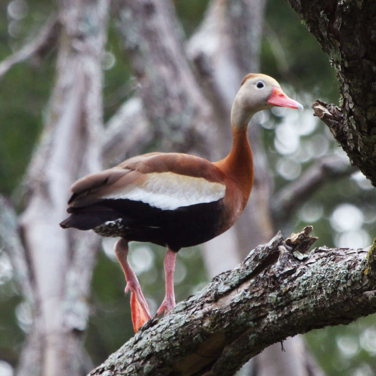 This black-bellied tree duck spent the night in a drought-killed cedar elm near Geronimo Creek.