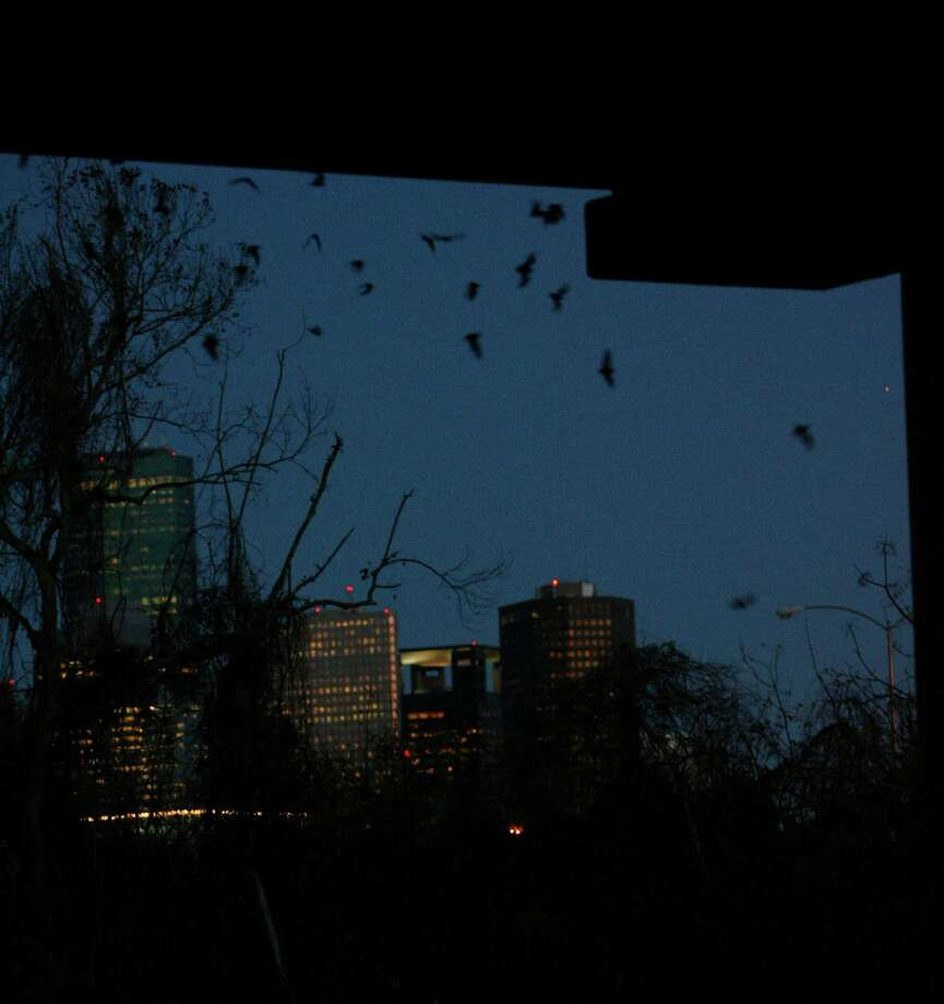 Watch bats at the Waugh Street bridge between Allen Parkway and Memorial Drive. Photo: Julio Cortez, Houston Chronicle / Houston Chronicle