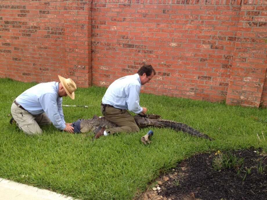 Tim Hanson, left, and Eric Melass, an owner at Killum Pest Control, prepare to remove an alligator June 18 from a Sienna Plantation lawn in Fort Bend County. Photo: Courtesy Photo